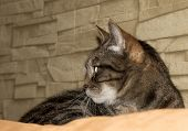 pic of eyebrows  - European domestic cat is lying on a couch and is looking into the left side - JPG