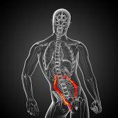 image of intestines  - Human digestive system large intestine  - JPG