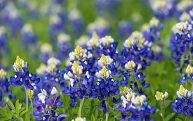 image of bluebonnets  - Texas bluebonnets  - JPG