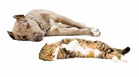 picture of scottish-fold  - Scottish Fold cat and dog breed pit bull lying together isolated on white background - JPG