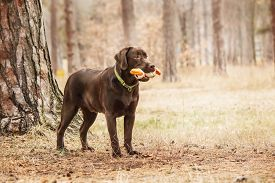 picture of labrador  - chocolate labrador standing in a forest Chocolate Labrador holds a toy in his mouth  - JPG
