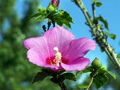 foto of hibiscus flower  - this hibiscus tree shrub is blooming a beautiful purple bloom - JPG