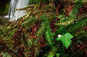 stock photo of trillium  - Trillium blossoming near Bridge creek fall in Oregon - JPG