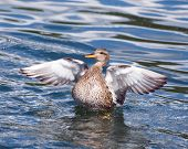 pic of gadwall  - A Gadwall Duck flapping it - JPG