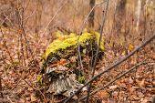 Fallen Tree In Autumn. Green Moss On A Fallen Tree. Seasonal Nature Background poster