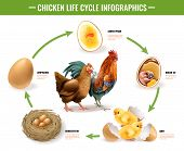 Chicken Life Cycle Stages Realistic Infographic Composition From Fertile Eggs Embryo Development To  poster