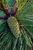 Pine Cone in a Pine Tree on Oleron Island at sunset. poster