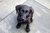 Labrador Puppy Is Played. Black Little Sweet Puppy Sits And Looks Into The Camera From The Bottom Up poster