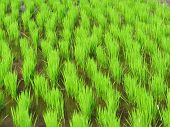stock photo of ifugao  - Rice seedlings in Kiangan rice terraces Ifugao province Philippines - JPG