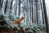 Dog On Nature In The Winter In Hoarfrost. Late Autumn. Pet In The Forest Outdoors. Breed Nova Scotia poster