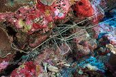 stock photo of panulirus  - Painted rock lobsters in the coral reef - JPG