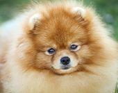 Portrait Of A Purebred Pomeranian Spitz poster