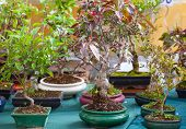 picture of bonsai  - View of Bonsai trees in the street market - JPG