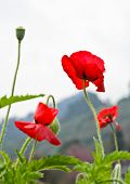 picture of opium  - Red Opium Poppy Flower  - JPG