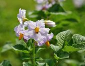 image of groping  - grope of purple flowers of growing potato