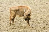 foto of aurochs  - one young bison in their natural habitat - JPG