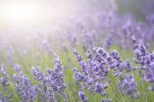 stock photo of differential  - Beautiful lavender field with sun flare and shallow depth of field differential focus technique