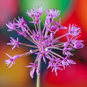 Decorative Allium Flower On Abstract Bright Background