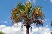 foto of washingtonia  - A view of a Washingtonia robusta palm tree - JPG