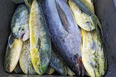 image of mahi  - A single black cobia (Rachycentron canadum) and numerous irridescent mahi-mahi or dolphinfish (Coryphaena hippurus) in a wheelbarrow after a day of sport fishing off the coast of the outer banks of North Carolina 