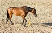 Purebred Brown Horse Walking In Sand poster