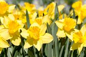 foto of daffodils  - Field of bright yellow daffodil flowers in full bloom - JPG