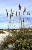 image of sea oats  - The stalks of the sea oats sway in the morning light over the sand and beach dunes on the east coast of Florida
