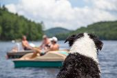 stock photo of shepherd dog  - A wet dog sitting on the cottage dock watches people swimming and boating on Lake of Bays in Muskoka Ontario Canada - JPG
