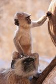 picture of brahma  - Baby Gray langur sitting with mother Pushkar Rajasthan India - JPG