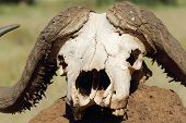 foto of cape buffalo  - The skull of an african cape buffalo  - JPG