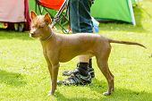 picture of mexican-dog  - Mexican hairless dog in leash beside handlers feet - JPG