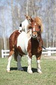 picture of pony  - Nice Shetland pony with Parson Russell terrier on it - JPG