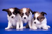 image of epagneul  - Three Papillon Puppies - JPG