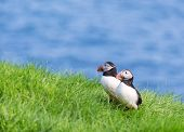 stock photo of faroe islands  - Common or Atlantic Puffin. Fratercula arctica. Faroe Islands.