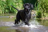 foto of schnauzer  - Black Giant Schnauzer goes through the water.