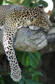 stock photo of snow-leopard  - A close up shot of an African Leopard  - JPG