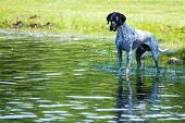 pic of tadpole  - This dog was facsinated with watching the tadpoles in the pond - JPG