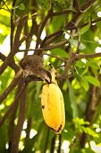 picture of bulbul  - bulbul birds eating banana on a tree - JPG