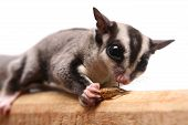 picture of glider  - Small sugar glider - JPG