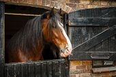foto of shire horse  - Dark brown horse looking out of stable - JPG