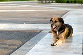 stock photo of stray dog  - A stray dog lying on the sidewalk - JPG