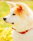 stock photo of akita-inu  - Akita Dog  - JPG