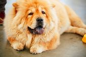 image of chow  - Red Chines chow chow dog close up portrait - JPG