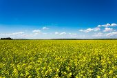 stock photo of rape-field  - Green field blue sky - JPG