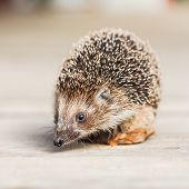 stock photo of wild hog  - Small Funny Hedgehog on brown wooden floor