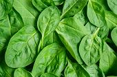 stock photo of green bean  - Fresh green baby spinach leaves  - JPG