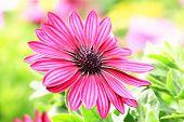 foto of daisy flower  - Blue - JPG