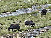 image of yaks  - Three Yaks At Pasture Near River in Ladakh - JPG