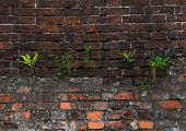 stock photo of struggle  - grass struggling for life on the wall of red brick  - JPG