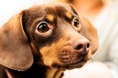 stock photo of chihuahua mix  - Animals at home. Closeup dachshund chihuahua and shih tzu mixed dog portrait indoor ** Note: Shallow depth of field - JPG